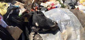 Martinaj: Bagëti të ngordhura në vendgrumbullimt e hapur mbeturinash!